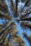 Cime d'albero dei pini della foresta su un cielo blu Fotografia Stock