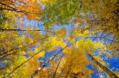 Cime d'albero dell'Aspen, autunno Fotografie Stock