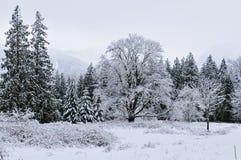 Cime d'albero dello Snowy Fotografia Stock Libera da Diritti