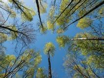 Cime d'albero e cielo blu della betulla Fotografie Stock Libere da Diritti