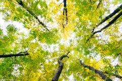 Cime d'albero frondose Fotografia Stock