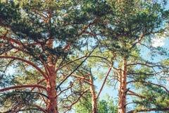 Cime d'albero nella foresta immagine stock
