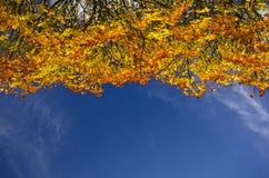 Cime d'arbre colorée d'automne contre un ciel bleu Image libre de droits