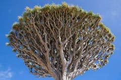 Cime d'arbre de Draco de Dracaena photographie stock