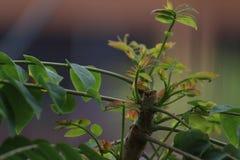 Cime d'arbre de groseille à maquereau d'étoile images libres de droits