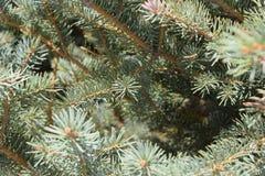 Cime d'arbre de pin 2778 (aériens) photographie stock libre de droits