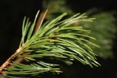 Cime d'arbre de pin 2778 (aériens) Photos stock