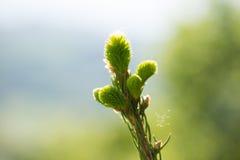 Cime d'arbre de pin 2778 (aériens) Photographie stock