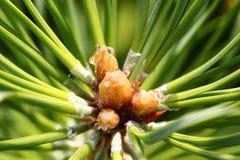 Cime d'arbre de pin 2778 (aériens) Photo stock