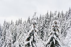 Cime degli abeti con i lotti di neve Paesaggio bianco della foresta di inverno Fotografia Stock
