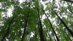 Cime degli alberi nel movimento della macchina fotografica della foresta della macchina fotografica Panorama con stadicam archivi video