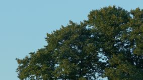 Cime dell'albero in brezza al tramonto video d archivio
