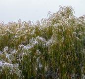 Cime dell'albero dei salici piangenti fotografia stock