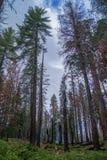 Cime dell'albero, parco della sequoia immagine stock