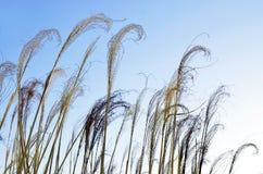 Cime dell'erba secca contro il chiaro cielo immagini stock libere da diritti
