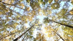 Cime della betulla in cielo blu pacifico archivi video