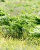 Cime della carota in natura Immagini Stock