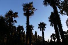 Cime delle palme nel crepuscolo immagini stock
