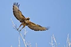 Cime Rosso-munite dell'albero di Hawk Taking Off From The Fotografie Stock