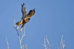 Cime Rosso-munite dell'albero di Hawk Taking Off From The Immagine Stock