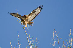 Cime Rosso-munite dell'albero di Hawk Taking Off From The Immagini Stock Libere da Diritti