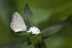 Cimente a borboleta azul em uma flor selvagem em Sri Lanka imagem de stock