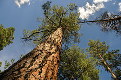Cimes d'arbre Image libre de droits