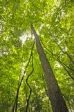 Cimes d'arbre atteignant le ciel Photo libre de droits
