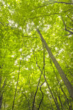 Cimes d'arbre atteignant le ciel Photos libres de droits