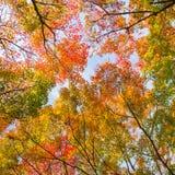 Cimes d'arbre colorées d'autunm Photographie stock