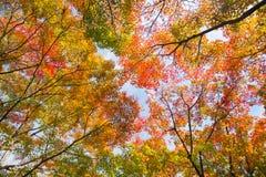 Cimes d'arbre colorées d'autunm Image libre de droits