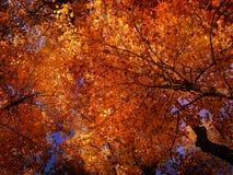 Cimes d'arbre d'automne Photographie stock