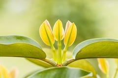 Cimes d'arbre de mangoustan Photographie stock libre de droits