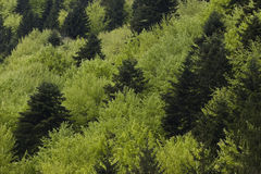 Cimes d'arbre et forêt Photo libre de droits