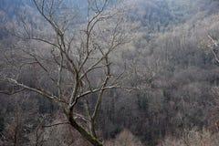 Cimes d'arbre fumeuses de montagnes images libres de droits