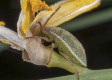 Cimice verde su un fiore Fotografia Stock