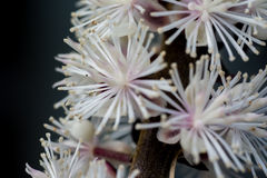 Cimicifuga в цветени Стоковая Фотография RF