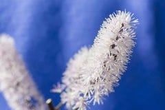 Cimicifuga en la flor azul del fondo Foto de archivo libre de regalías