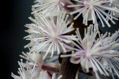 Cimicifuga en la floración Fotografía de archivo libre de regalías