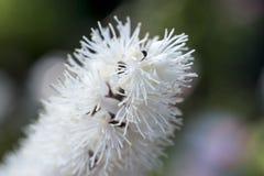 Cimicifuga en la floración Imagen de archivo libre de regalías