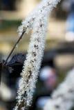 Cimicifuga in fioritura Fotografia Stock