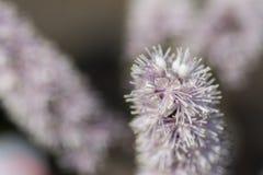Cimicifuga macro con el fondo de la flor Fotos de archivo libres de regalías