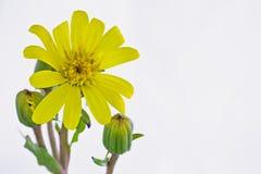 Cinéraire jaune en gros plan Photos stock