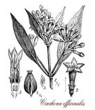 Cinchona officinalis, botanical vintage engraving Stock Photos
