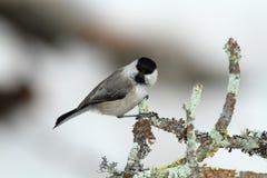 Cincia bigia ptak Zdjęcie Royalty Free