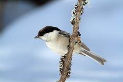 Cincia bigia ptak Zdjęcie Stock