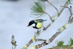 Cincia  bird Royalty Free Stock Images