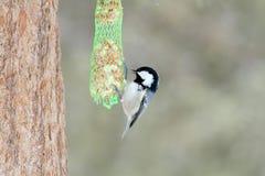 Cincia  bird Royalty Free Stock Image