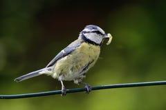 Cincia  bird Stock Photos