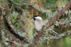 Cincia ciuffo bird Royalty Free Stock Images